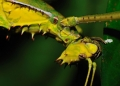 heteropteryx dilatata (female). A close up shot of a rare yellow colored...