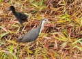 amaurornis phoenicurus (adult and juvenile). A White-Breasted Waterhen with her black...