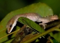 aeluroscalabotes felinus. This arboreal gecko gets its common name...